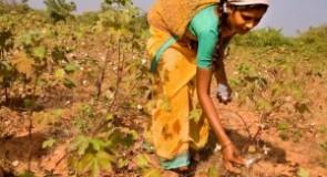 Monsanto perde milioni di dollari in India: gli agricoltori riutilizzano le sementi autoctone